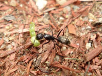 carpenter ant carrying a small caterpillar back to the colony