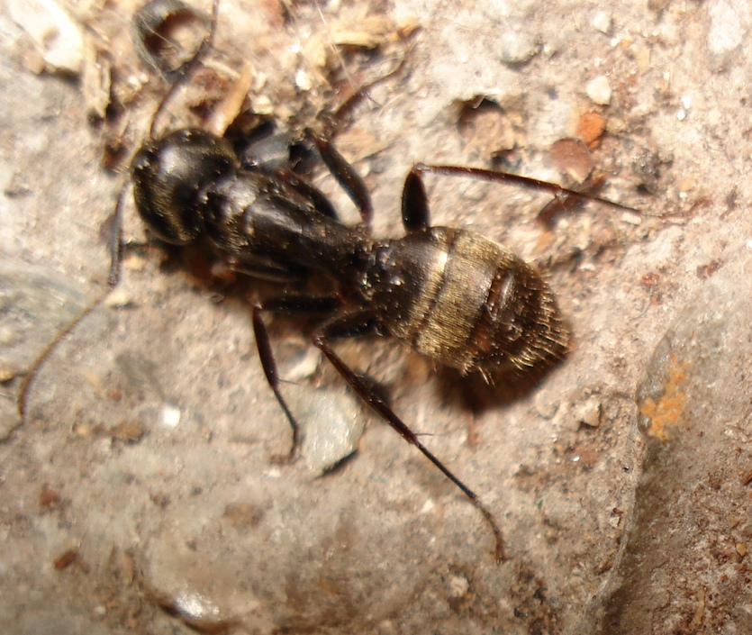 Carpenter Ant Control - Get Rid of Carpenter Ants