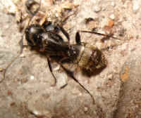 The hairs on the rear-end are the indication that it is a Carpenter Ant