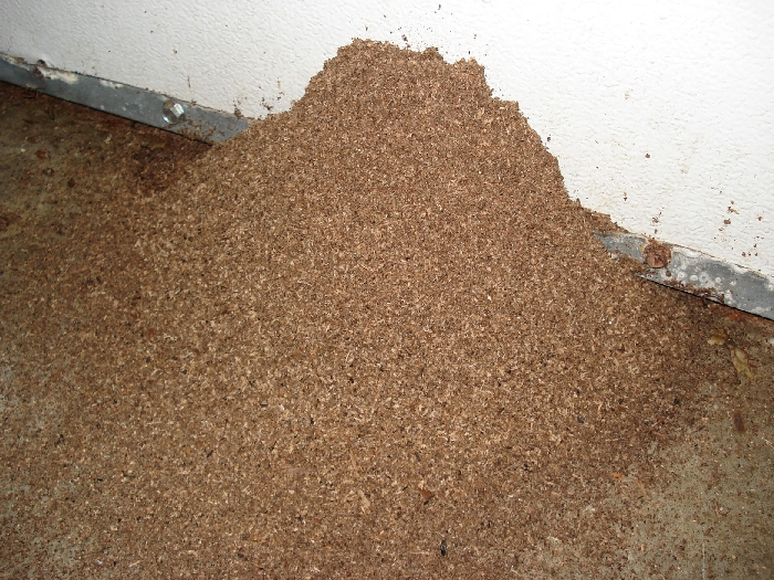 Aacute Pest Control Carpenter Ant Pictures