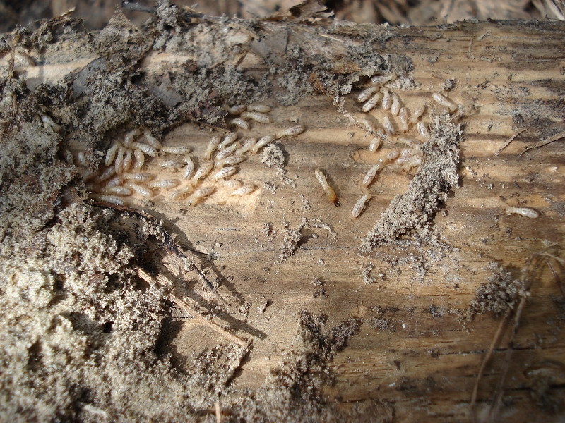 How to Get Rid of Flying Termites Get Rid of Flying Termites