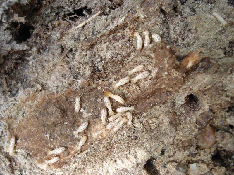 Termites Eating Wood Aacute Pest Control - ...