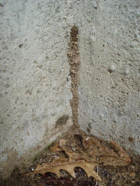 Termites Use Shelter Tubes To Enter Homes