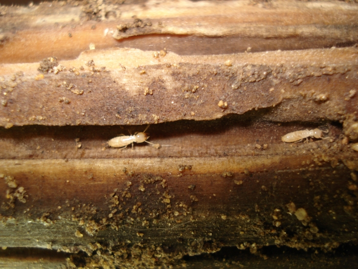 Aacute Pest Control - Subterranean Termite Worker Pictures